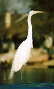egret-on-boat004